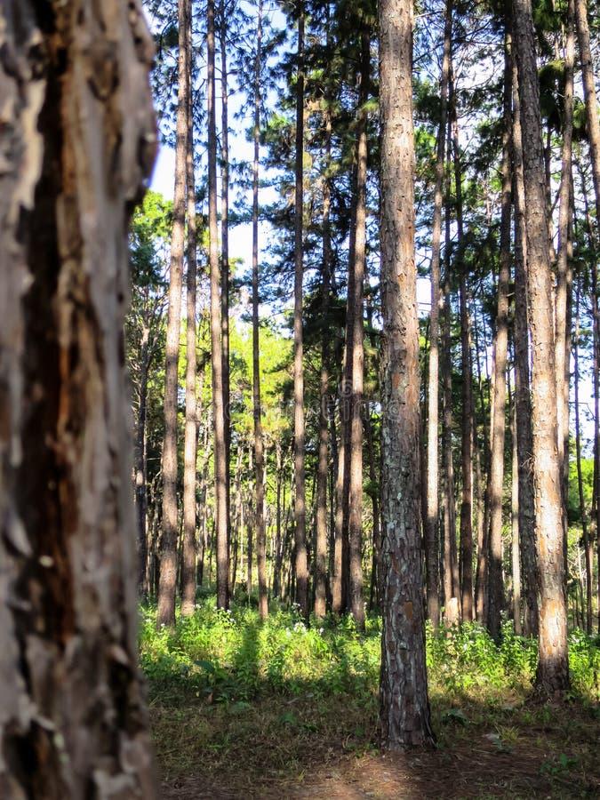 Tronchi diritti del pino con struttura naturale nella p piacevole fotografia stock