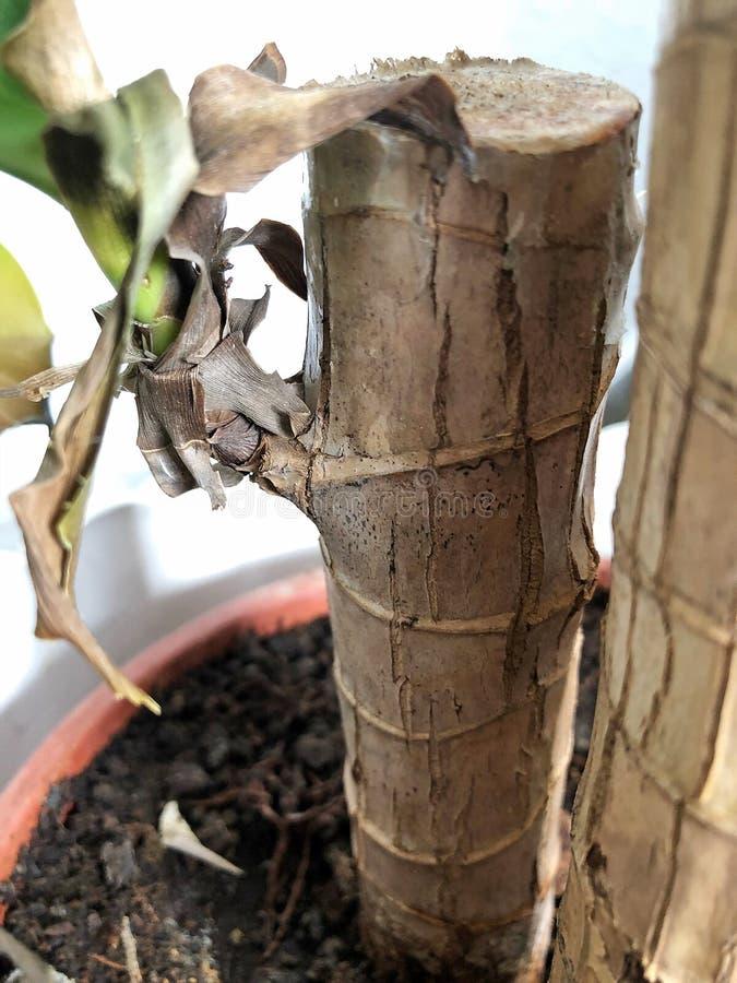 Tronchi domestici della pianta con le foglie verdi fotografie stock