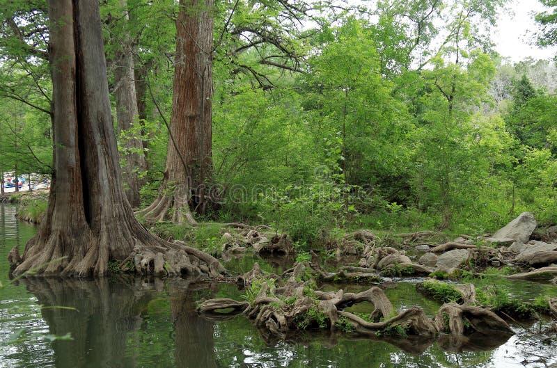 Tronchi e radici di albero nell'acqua immagine stock