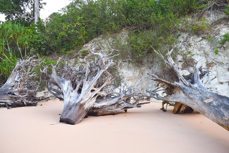 Tronchi e radici tagliati degli alberi a Sandy Beach - resti di danno causato dal Tsunami - mutamento climatico - disboscamento immagini stock libere da diritti