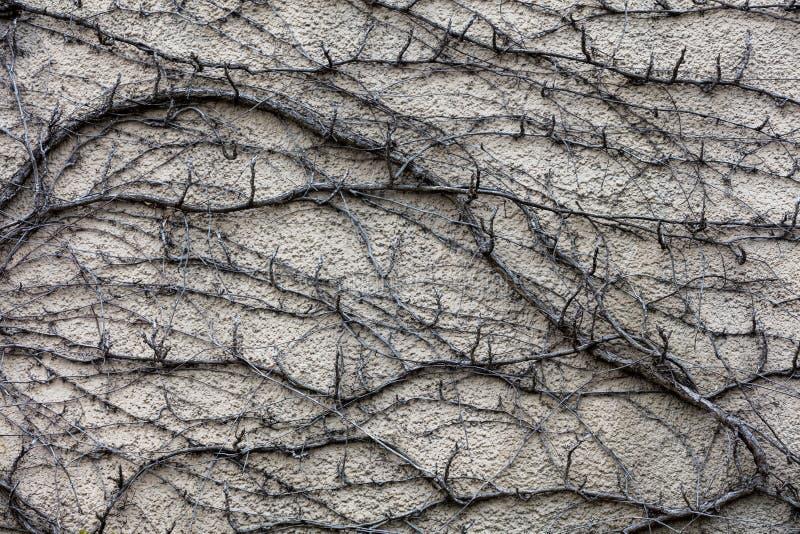 Tronchi e rami asciutti della pianta dell'edera Priorità bassa astratta di Grunge immagini stock