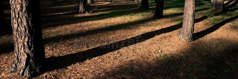 Tronchi ed ombre di pino nella foresta su una mattina soleggiata, primo piano Bandiera di Web immagini stock