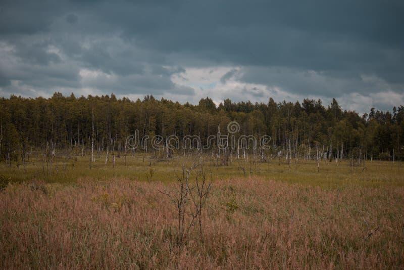 Tronchi marci della betulla nel campo con la foresta nei precedenti e nel cielo blu Oscurità e sguardo drammatico fotografie stock