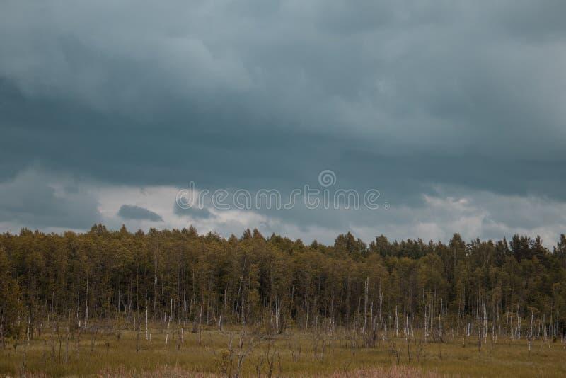 Tronchi marci della betulla nel campo con la foresta nei precedenti e nel cielo blu Oscurità e sguardo drammatico immagini stock