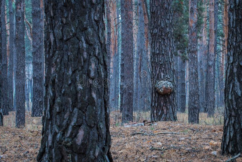 Tronchi misteriosi della foresta di sera dei pini alti fotografia stock