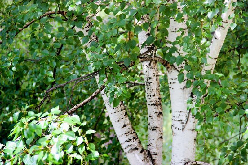 Tronchi snelli alti della betulla bianca con le foglie fresche fotografie stock