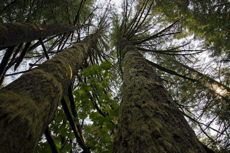 Tronchi spessi degli alberi coperti di attività del muschio lungo ascendente verso immagine stock libera da diritti