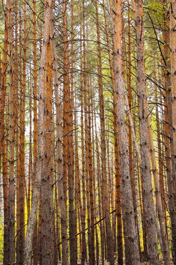 Tronchi verticali dei pini fotografie stock libere da diritti