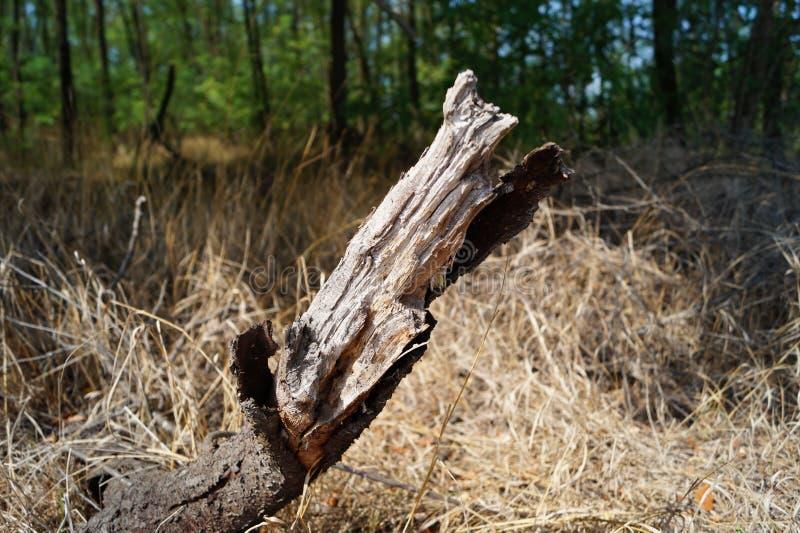 Tronco asciutto al bordo della foresta immagini stock libere da diritti