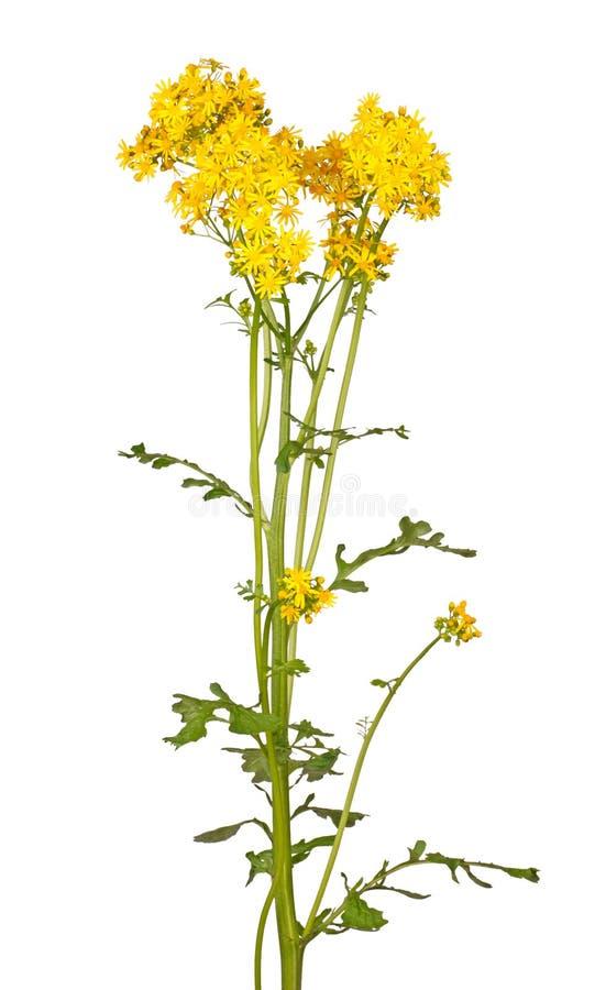 Tronco con las flores amarillas brillantes del groundsel del cressleaf aisladas fotografía de archivo libre de regalías