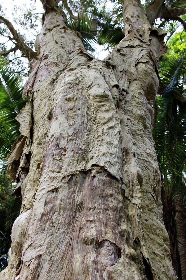 Tronco da árvore espinhoso-com folhas do paperbark & do x28; tree& x29 do chá; no parque imagem de stock