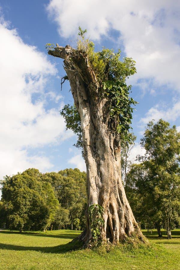 Tronco da árvore inoperante velha fotos de stock