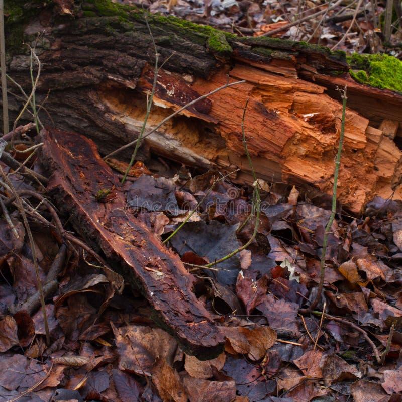 Tronco da floresta foto de stock