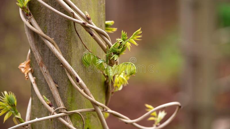 Tronco da glic?nia com as folhas novas envolvidas em torno do polo de madeira no jardim imagens de stock
