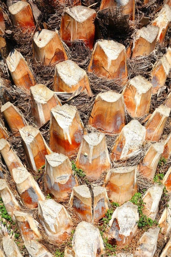 Tronco da palmeira foto de stock royalty free