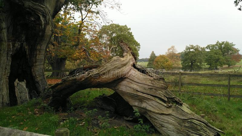 Tronco de árbol antiguo en el parque de Tatton imagen de archivo libre de regalías