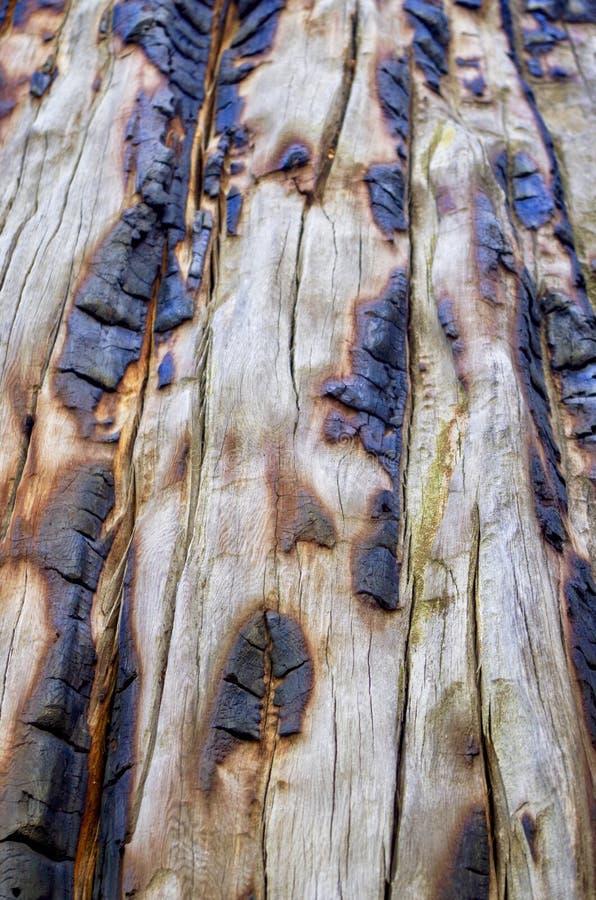 Tronco de árbol chamuscado en el rastro superior del lazo de Bristlecone, Mt Charleston, Nevada imagen de archivo
