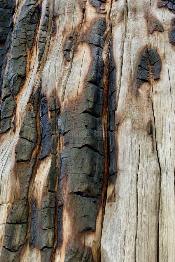 Tronco de árbol chamuscado en el rastro superior del lazo de Bristlecone, Mt Charleston, Nevada foto de archivo libre de regalías