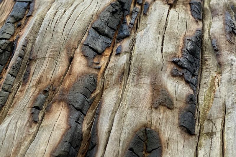Tronco de árbol chamuscado en el rastro superior del lazo de Bristlecone, Mt Charleston, Nevada imagenes de archivo