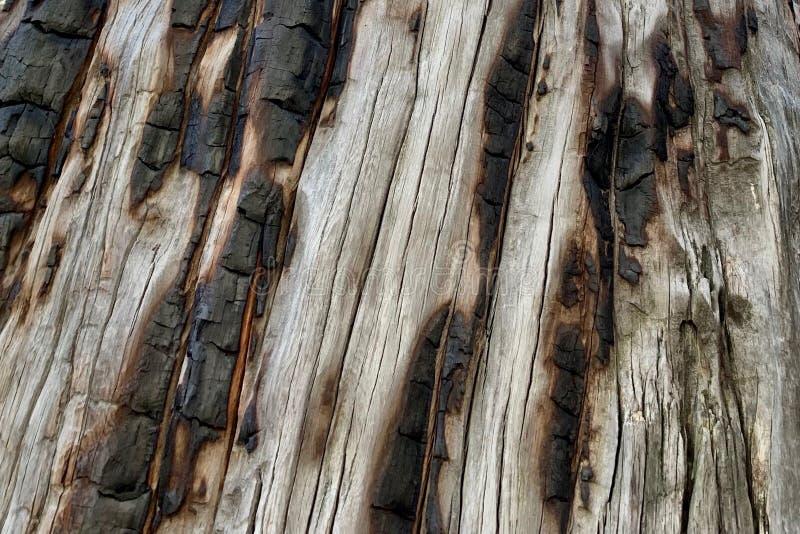 Tronco de árbol chamuscado en el rastro superior del lazo de Bristlecone, Mt Charleston, Nevada fotografía de archivo