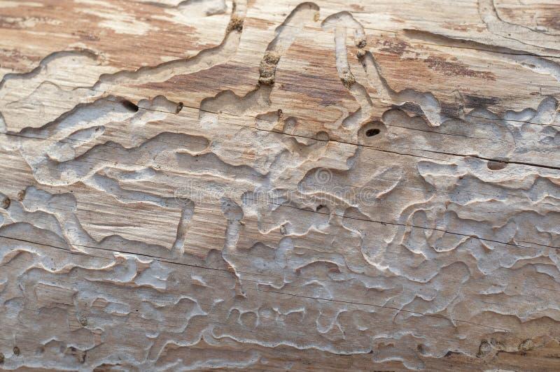 Tronco de árbol comido por los gusanos de madera fotografía de archivo