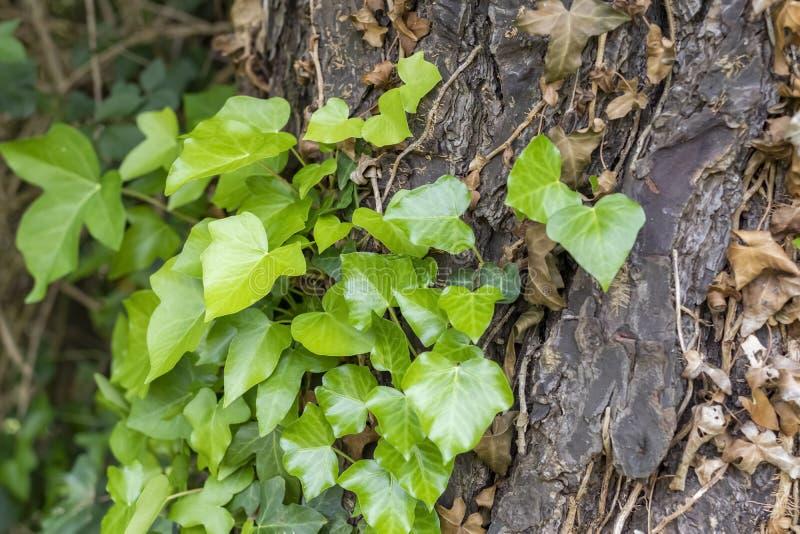 Tronco de árbol con la hiedra seca y verde fotografía de archivo
