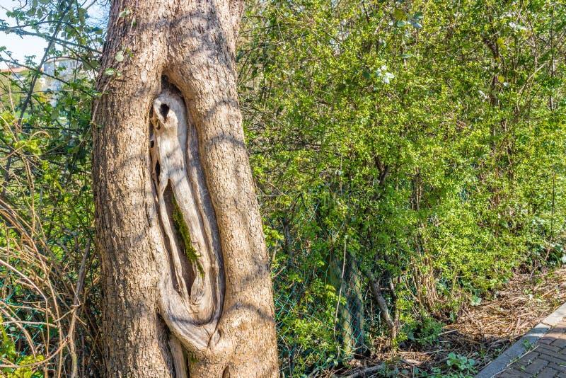 Tronco de árbol con las cavidades fotos de archivo libres de regalías