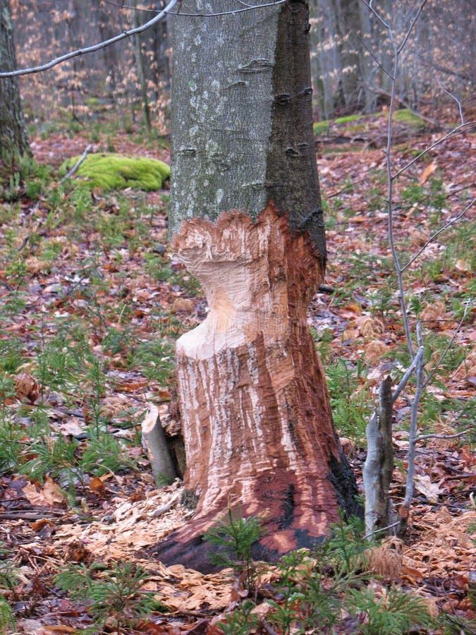 Tronco de árbol con pruebas de la actividad del castor imagen de archivo libre de regalías