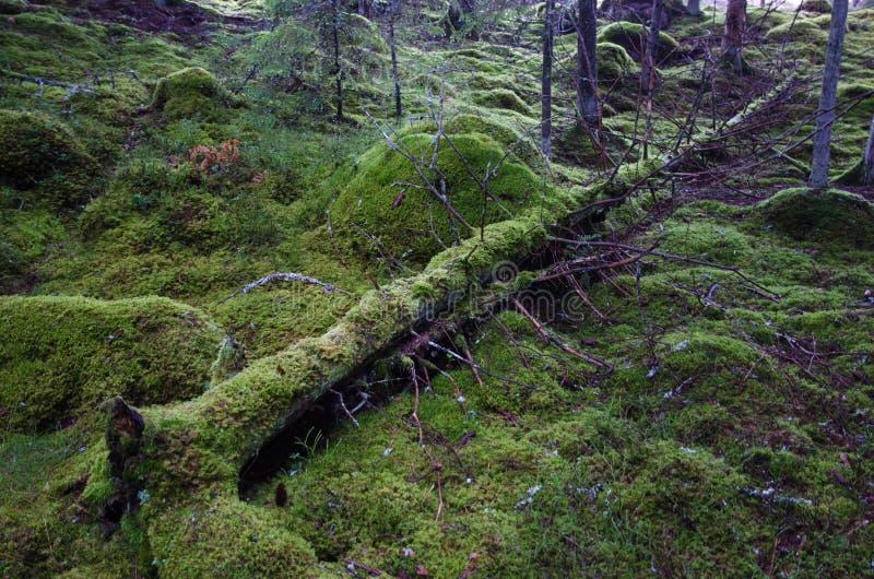 Tronco de árbol cubierto de musgo caido imagen de archivo libre de regalías