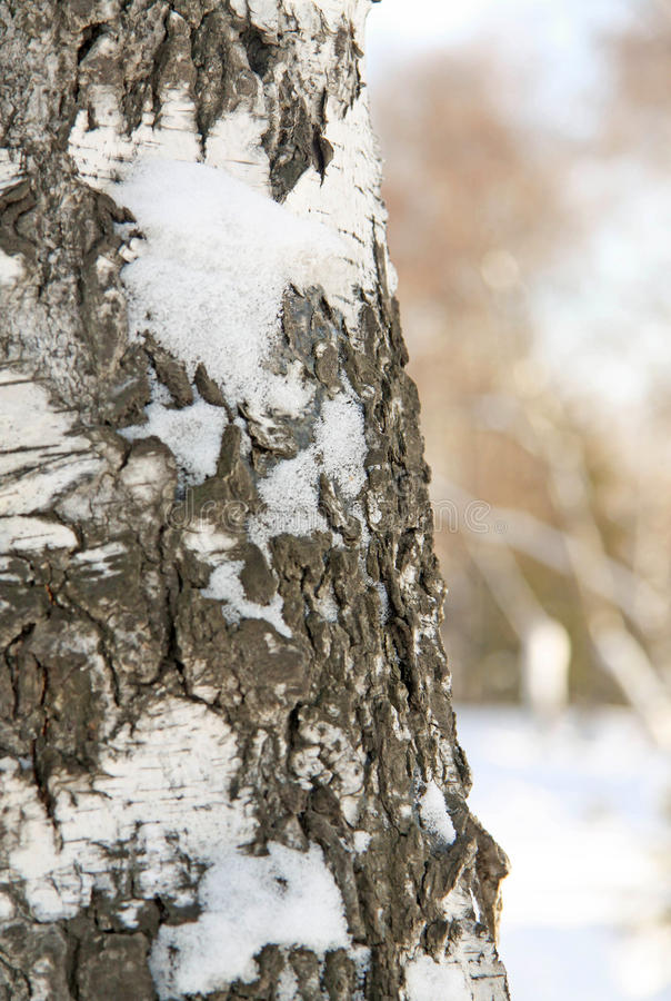 Tronco de árbol de abedul del invierno fotos de archivo