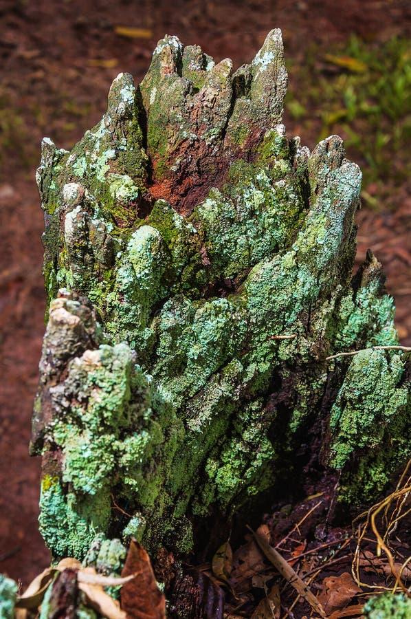 Tronco de árbol de descomposición con la corteza cubierta por el musgo verde imagenes de archivo