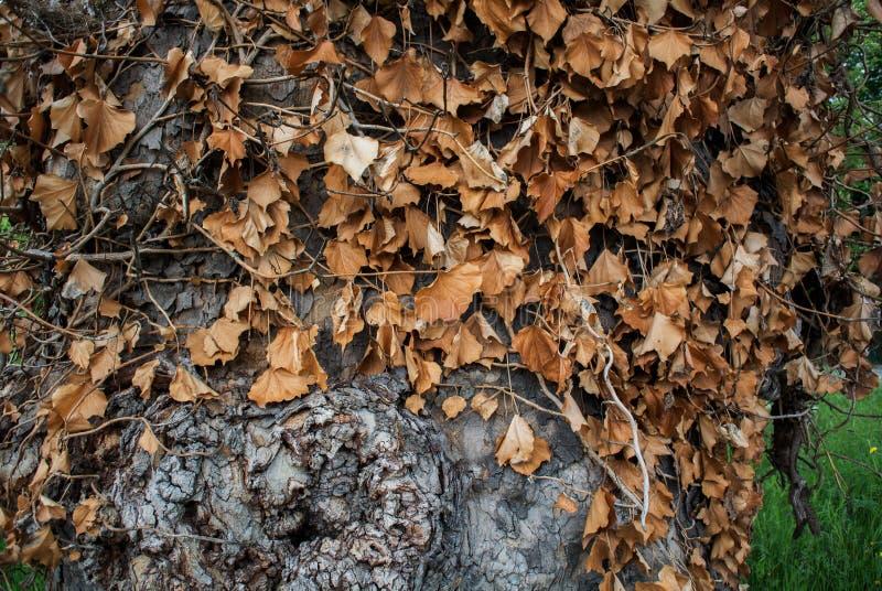 Tronco de árbol de naranja de Osage. foto de archivo