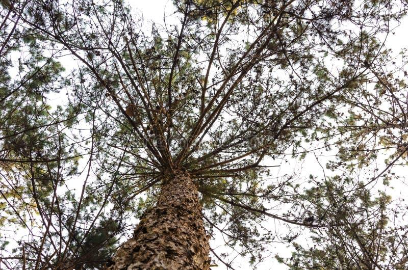 Tronco de árbol de pino imagenes de archivo