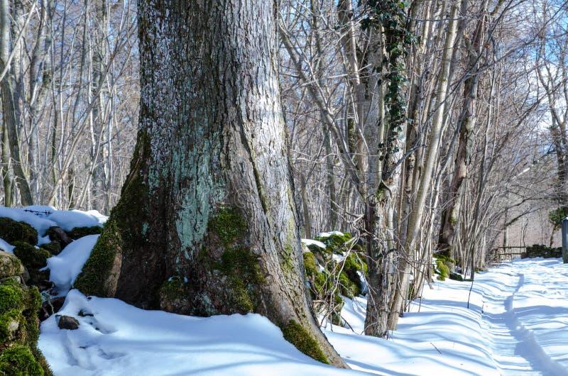 Tronco de árbol del invierno fotos de archivo