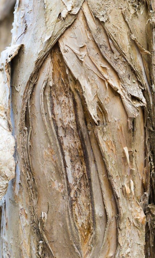 Tronco de árbol de Paperbark fotos de archivo libres de regalías