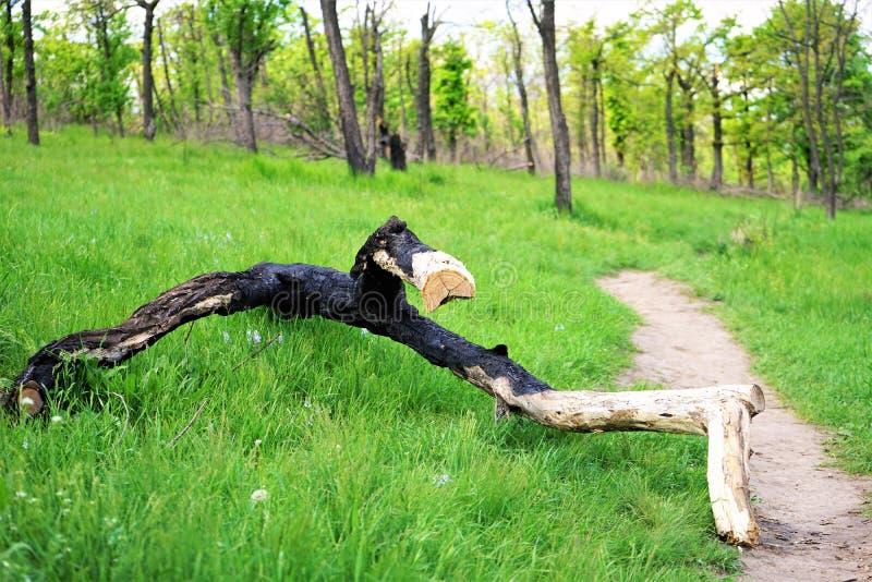 Tronco de árbol quemado que miente en el parque de la primavera imágenes de archivo libres de regalías