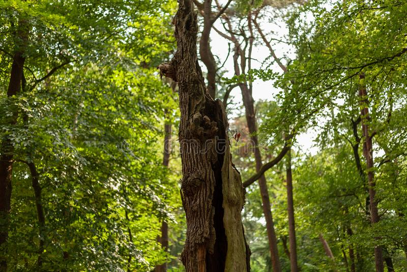 Tronco de árvore agarrado na floresta holandesa da mola imagem de stock royalty free