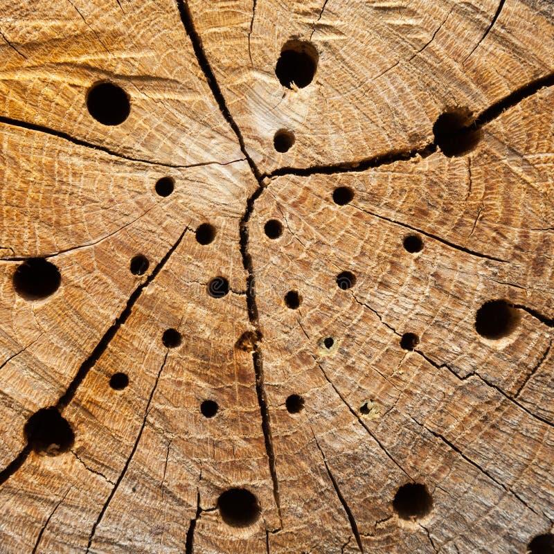 Tronco de árvore com furos do assentamento fotos de stock royalty free