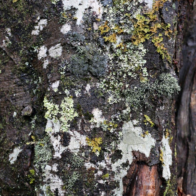 Tronco de árvore com muito líquene colorido em uma foto do close up imagem de stock