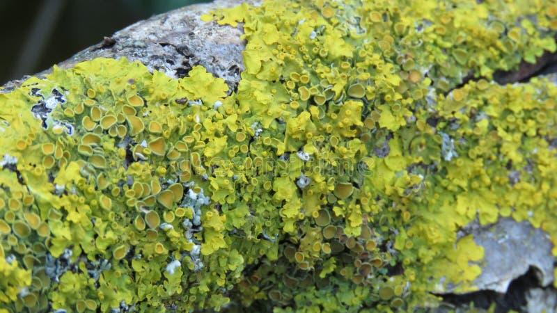 Tronco de árvore com o fungo amarelo do musgo imagens de stock