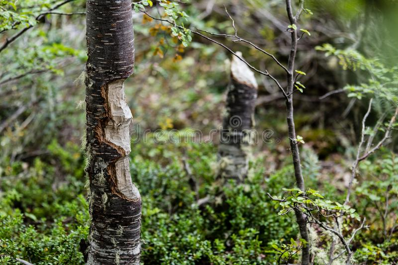 Tronco de árvore comido pelo canadensis do rodízio do castor no parque em Ushuai imagens de stock
