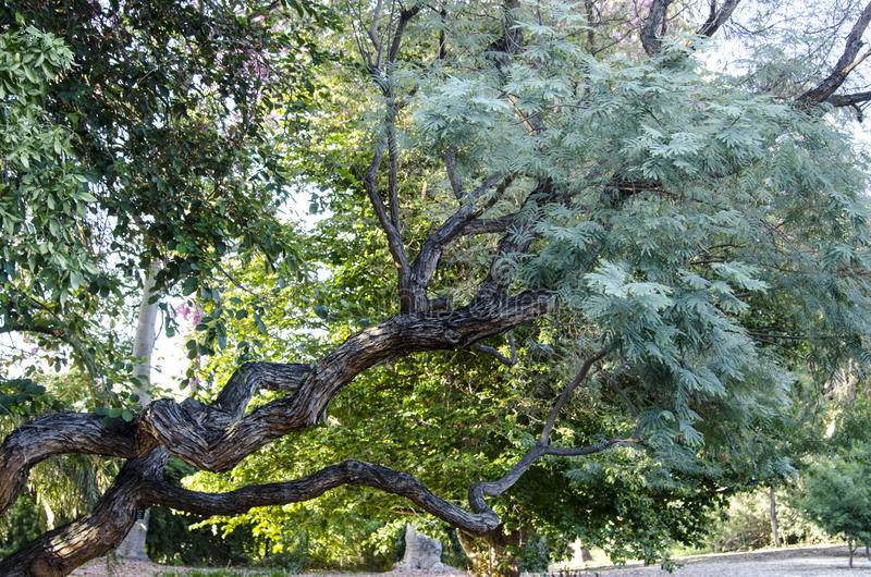 Tronco de árvore Curvy foto de stock