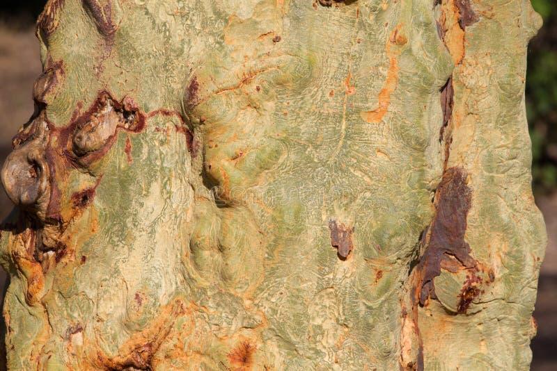 Tronco de árvore da febre fotos de stock royalty free