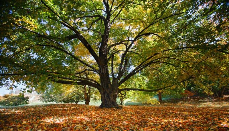 Tronco de árvore do bordo e filiais majestosos Virgínia foto de stock