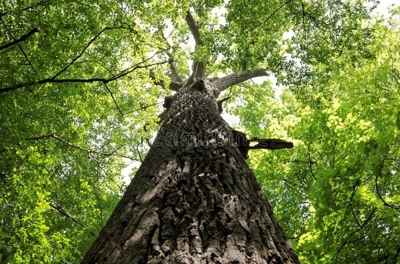 Tronco de árvore enorme velho do carvalho fotografia de stock