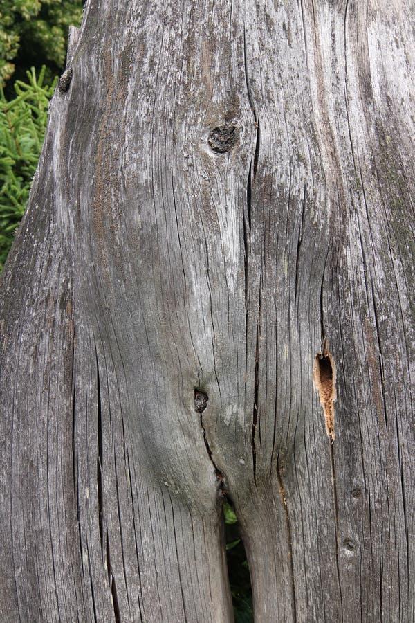 Tronco de árvore estranhamente dado forma que olha como a mulher despida imagens de stock royalty free