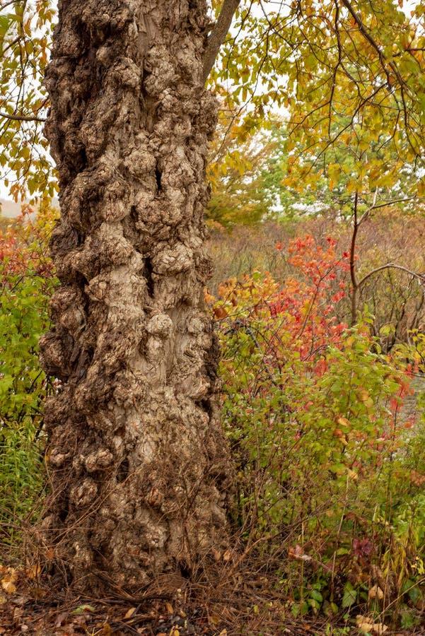 Tronco de árvore Gnarly contra as folhas de outono no parque estadual da ilha de Presque imagem de stock