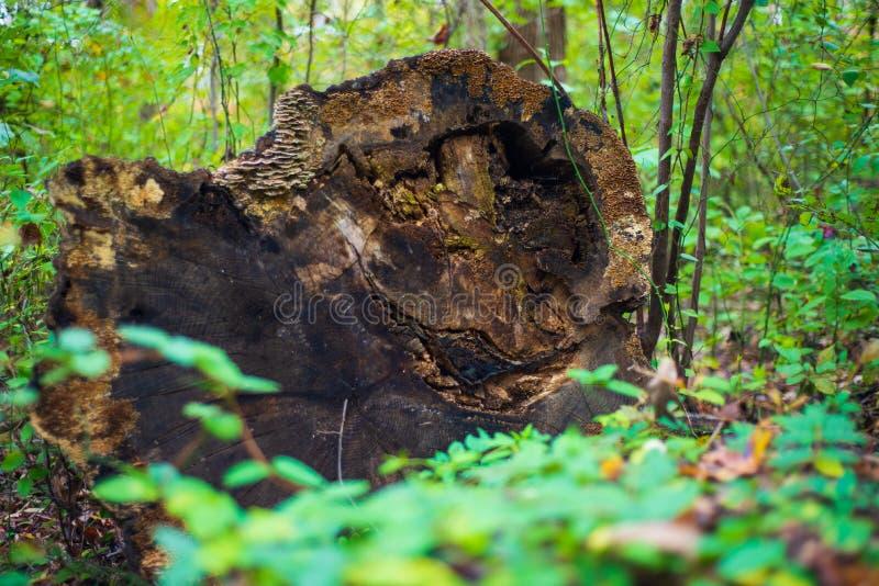 Tronco de árvore inoperante na floresta foto de stock royalty free