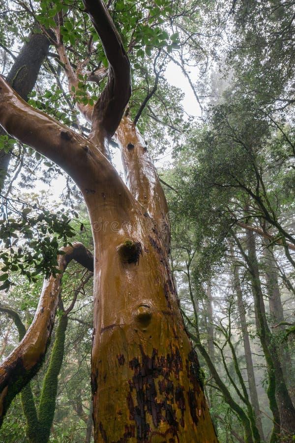 Tronco de árvore molhado em um dia chuvoso, parque estadual do menziesii do Arbutus das árvores de Madrone da rocha do castelo, á foto de stock