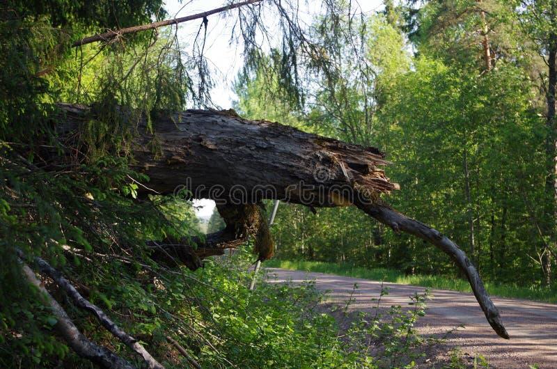 Tronco de árvore velho perto de uma estrada foto de stock